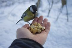 Great titmouse sits on hand stock images
