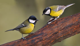 Great Tits. Royalty Free Stock Image
