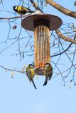 Great tits on bird feeder on tree winter time. Great tits on bird feeder on tree winter bird feeding Royalty Free Stock Photos