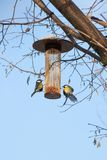 Great tits on bird feeder on tree winter time. Great tits on bird feeder on tree winter bird feeding Royalty Free Stock Image