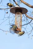 Great tits on bird feeder on tree winter time. Great tits on bird feeder on tree winter bird feeding Royalty Free Stock Photography