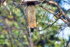 Great tits on bird feeder on tree winter time. Great tits on bird feeder on tree winter bird feeding Stock Image