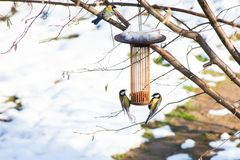 Great tits on bird feeders on tree winter time. Great tits on bird feeders on tree winter bird feeding Royalty Free Stock Images