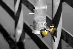 Great Tits feeder A Royalty Free Stock Images