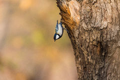 Great tits. Is more common birds, which are larger than the average with a lot of its active and lively personality, sound clear and bright, and it is more Stock Image