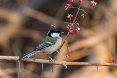 Great tits. Is more common birds, which are larger than the average with a lot of its active and lively personality, sound clear and bright, and it is more Royalty Free Stock Photography