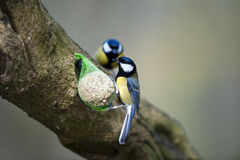 Great Tits (Parus major) Stock Image
