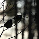 Birds in winter forest Stock Images