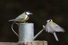 Great tits standing on a watering can, Vosges, France Royalty Free Stock Photography
