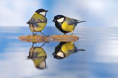 Great tits in the water. Royalty Free Stock Images