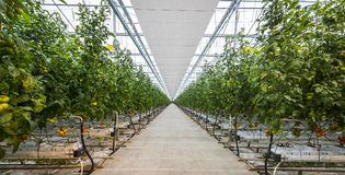 Great Tomato Nursery Royalty Free Stock Images