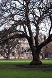 Great tree. A great and old tree at the Trinity College - Dublin Royalty Free Stock Photography