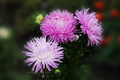 A great trio of purple asters sings a sweet summer song. Purple gortennziy asters on an isolated background royalty free stock photography