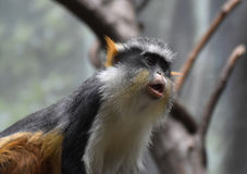Great Up Close Look at Wolf`s Guenon Monkey Stock Photo