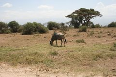Amboseli national park, next to MT. Kilimanjaro. Great view of Mt. Kilimanjaro, variety of animals like elephants, wildebeest, hyenas, etc Stock Image