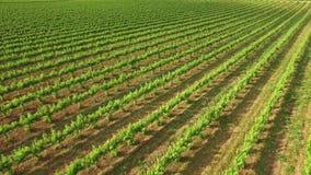 Great Vineyard in Spring Aerial View stock footage