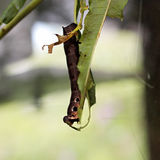 Great voracious caterpillar Royalty Free Stock Image