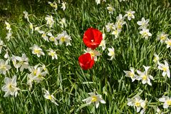 Red tulips grow among white daffodils stock images