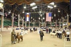 Great Western Alpaca Show Royalty Free Stock Image