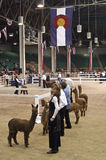 Great Western Alpaca Show Stock Photos
