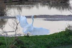 Great White ägretthäger som fördelar dess vingar royaltyfri foto