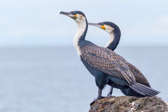 Great or White-breasted Cormorant, Males Standing. Two male Great Cormorants standing on rocks beside Lake Victoria, Africa Stock Photo