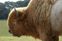 Great white buffalo royalty free stock photography