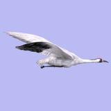 Great White Crane Royalty Free Stock Photos