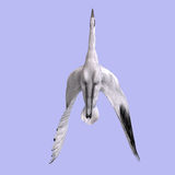 Great White Crane Royalty Free Stock Photography
