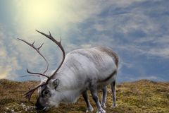 The great white deer is standing on the grass surface. Sunlight, blue skies and clouds in the background. stock image