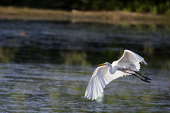 Great White Egret Royalty Free Stock Photography