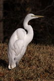 Great White Egret. In morning light royalty free stock image