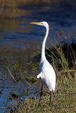 Great White Egret. From the Florida Everglades royalty free stock photos