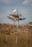 Great White Egret. From the Florida Everglades royalty free stock photo