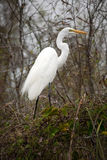 Great White Egret. From the Florida Everglades stock images