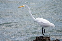 Great White Egret. Standing on rocky shoreline watching for fish for food Stock Photos