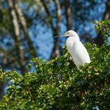 Great white egret. In a small tree in a Florida swamp Royalty Free Stock Images
