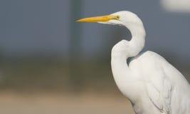 Great White Egret. Photo of Great White Egret taken in Huntington Beach, California Stock Photo