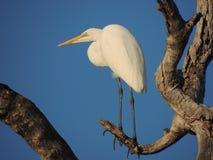 Great White Egret Stock Photos