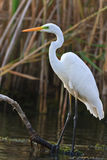 Great white egret Stock Image