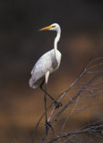 Great white egret Royalty Free Stock Images