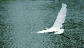 Free Great White Egret Royalty Free Stock Images - 5712799
