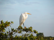 Great White Egret. Morning photo of a great white egret in Florida Stock Image