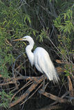 Great White Egret -7 Stock Photography