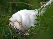 Great White Egret. Sitting in its nest on a tree Royalty Free Stock Image