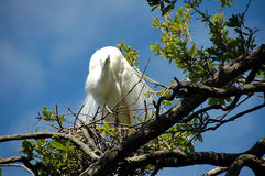 Great White Egret Stock Photography