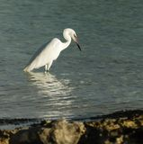 Great White Egret Stock Images