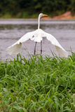 The great white egret Royalty Free Stock Photo