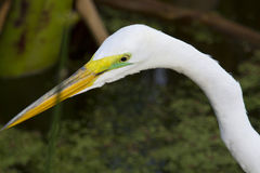 Great White Egret - Ardea alba Stock Photos