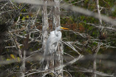 Great White Egret Ardea alba. Great White Egret In Everglades National Park stock photography